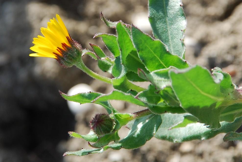 Calendula arvensis 11