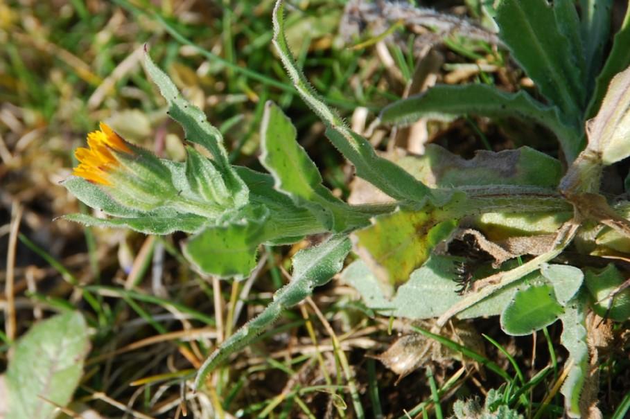 Calendula arvensis 9.jpg