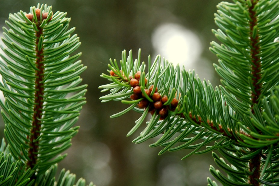 Abies cephalonica 10