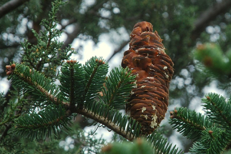 Abies cephalonica 11