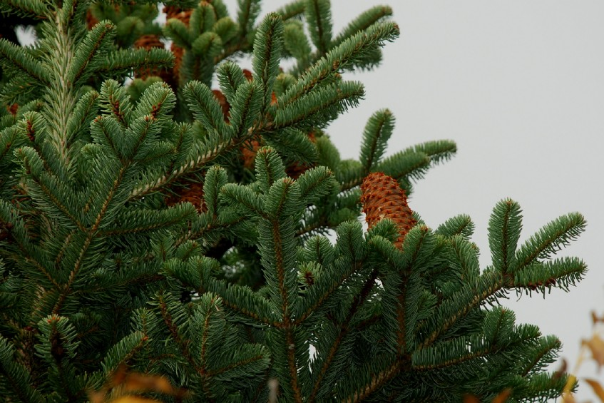 Abies cephalonica 14
