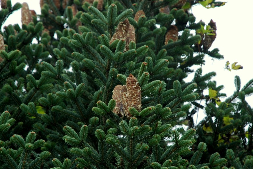 Abies cephalonica 15