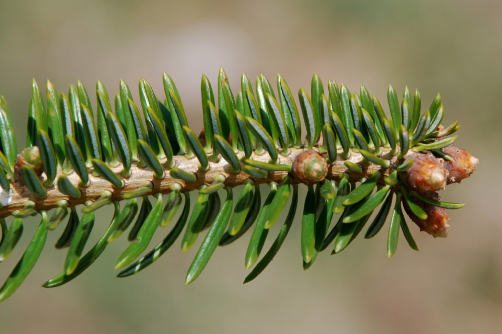Abies cephalonica 4