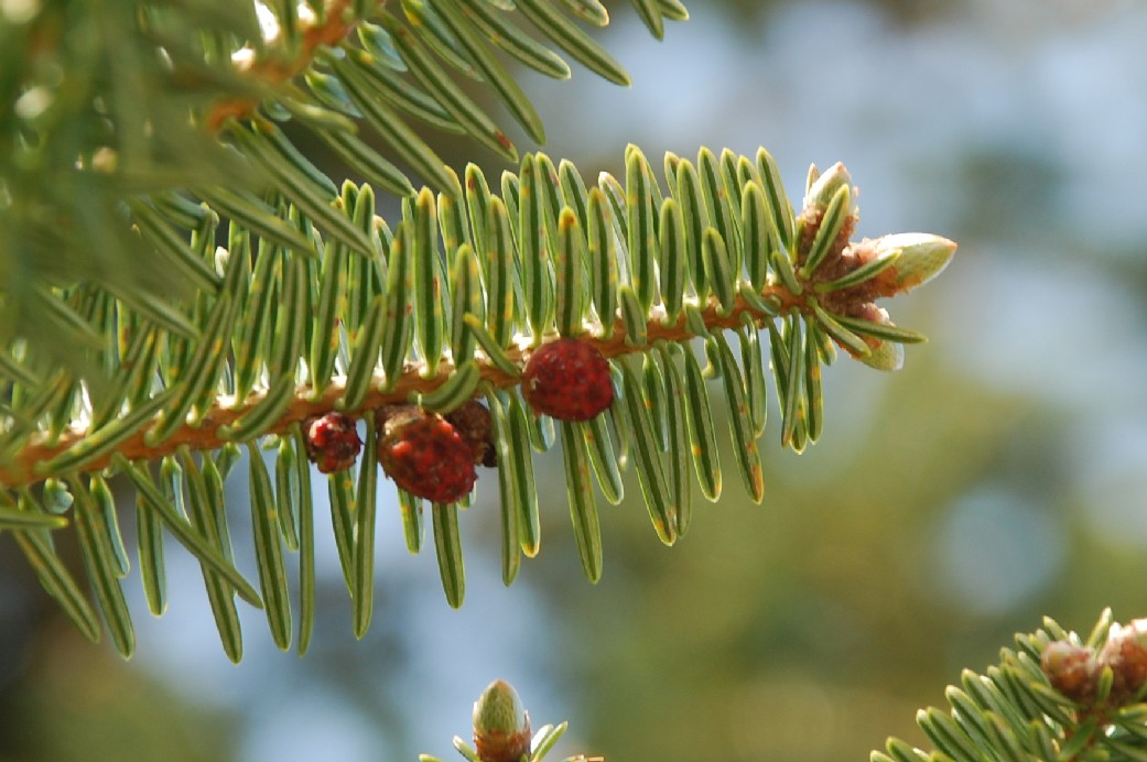 Abies cephalonica 5