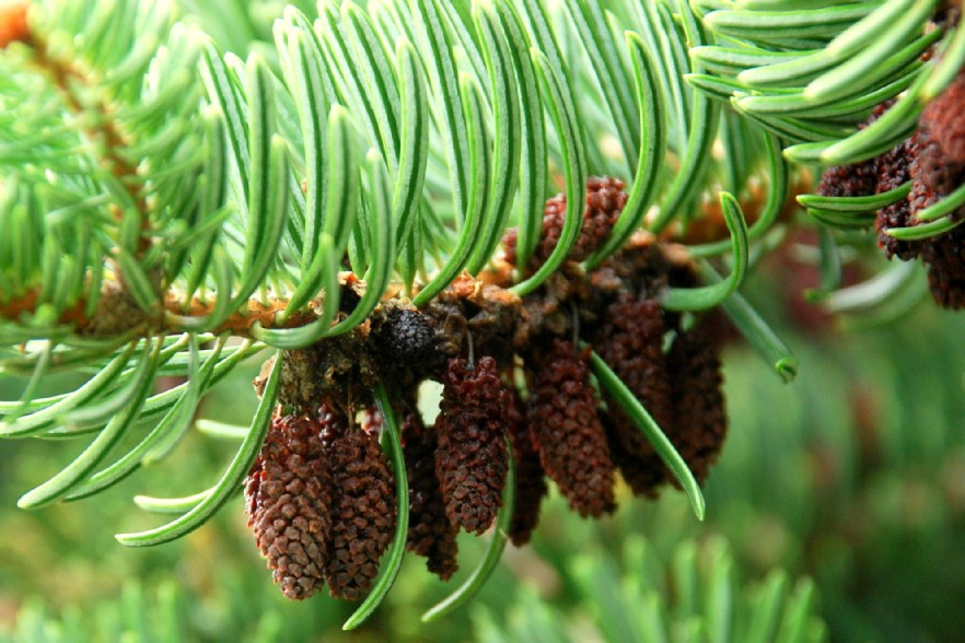 Abies cephalonica 8