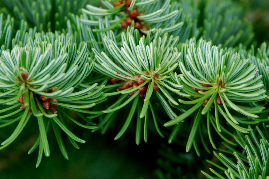 Abies cephalonica 9