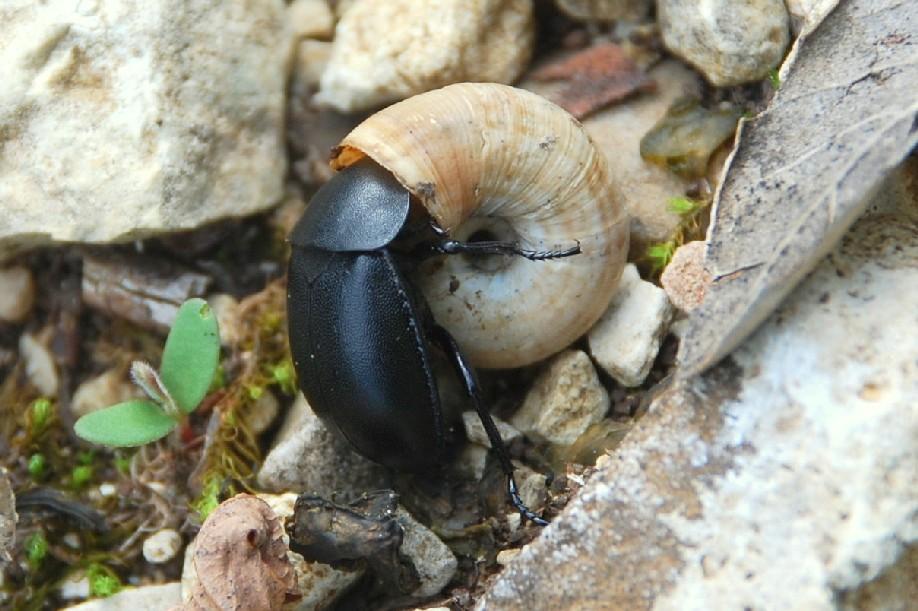 Ablattaria laevigata - Silphidae