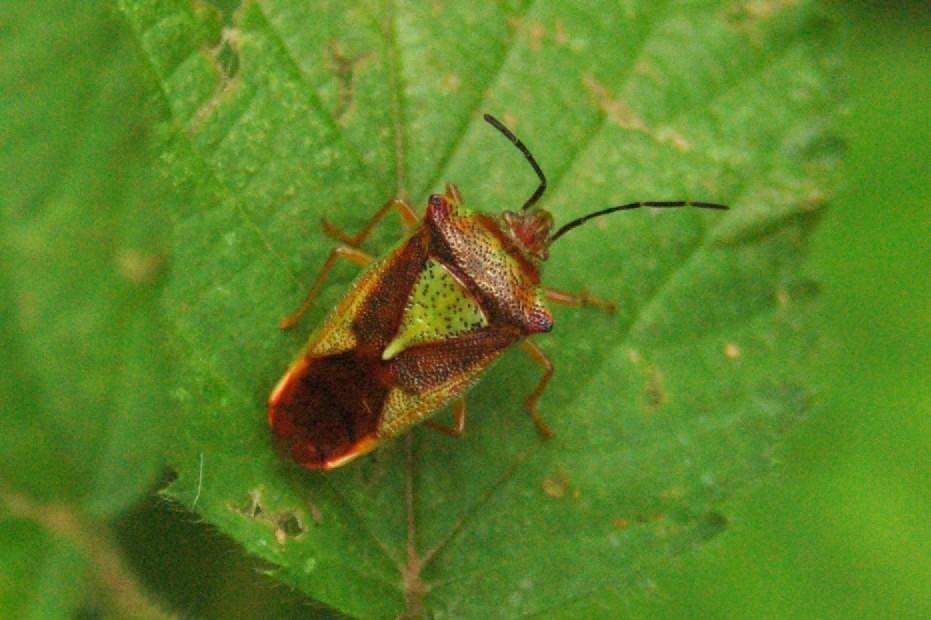 Acanthosoma haemorrhoidale - Acanthosomatidae