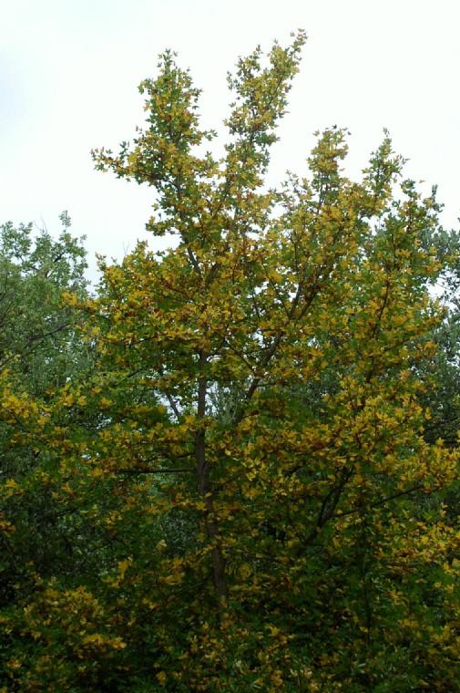 Acer campestre 11