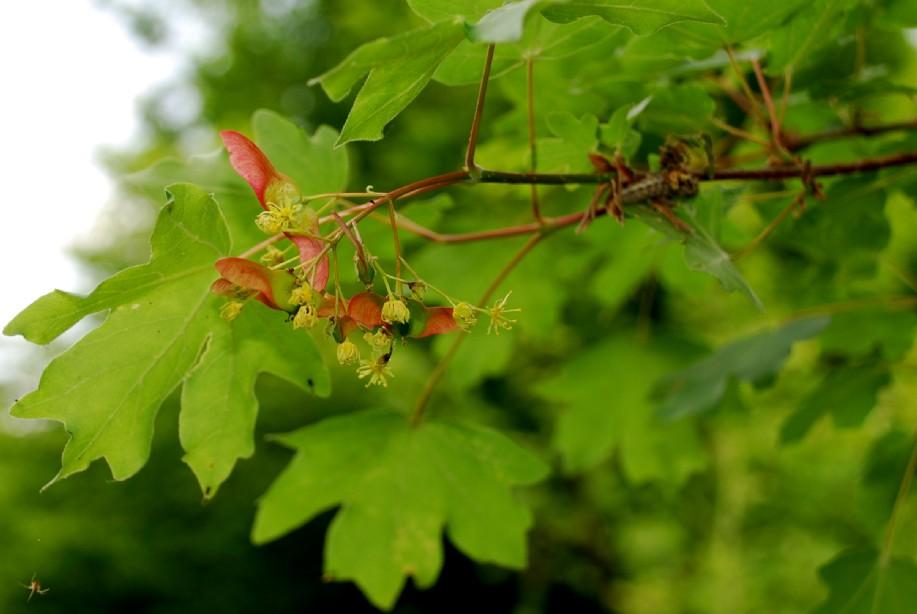 Acer campestre 2