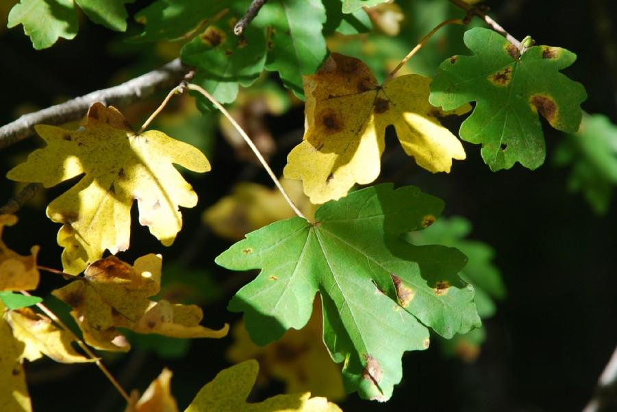 Acer campestre 4
