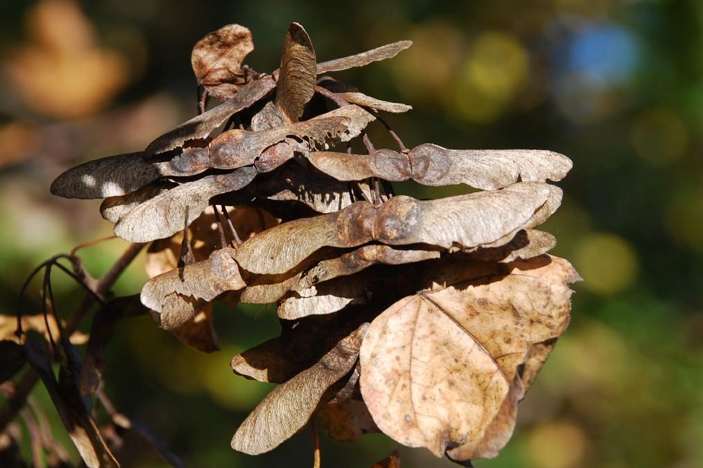 Acer campestre 6