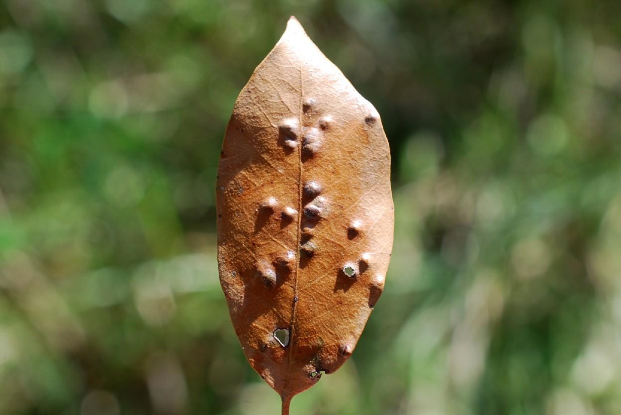 Aceria ilicis - Eriophyidae 3