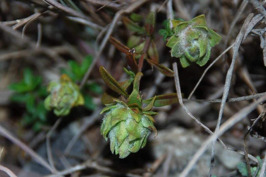 Aceria thomasi - Acari, Eriophyoidea