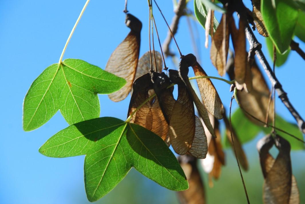 Acer monspessulanum subsp. monspessulanum 12