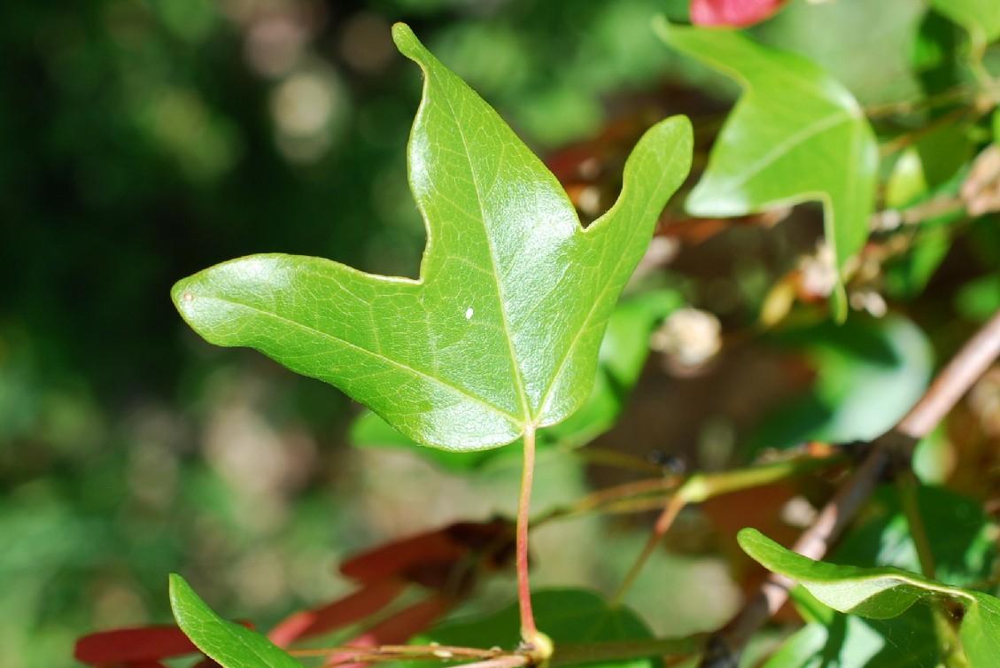 Acer monspessulanum subsp. monspessulanum 14