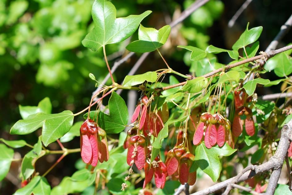 Acer monspessulanum subsp. monspessulanum 15