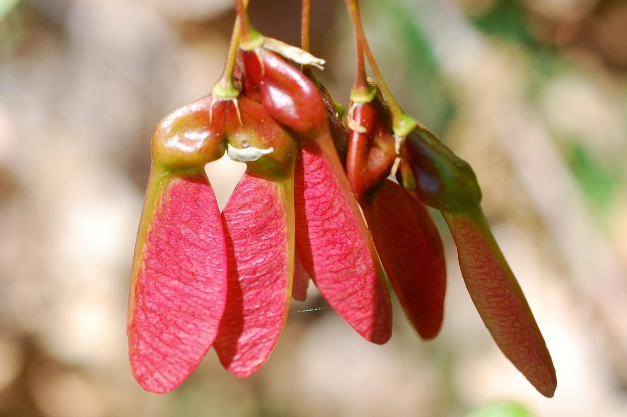 Acer monspessulanum subsp. monspessulanum 16