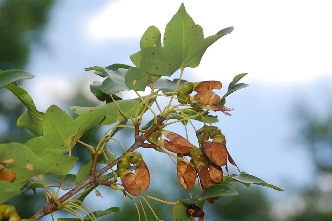 Acer monspessulanum subsp. monspessulanum 18