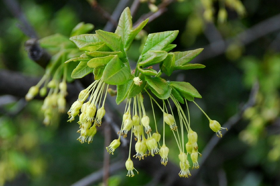 Acer monspessulanum subsp. monspessulanum