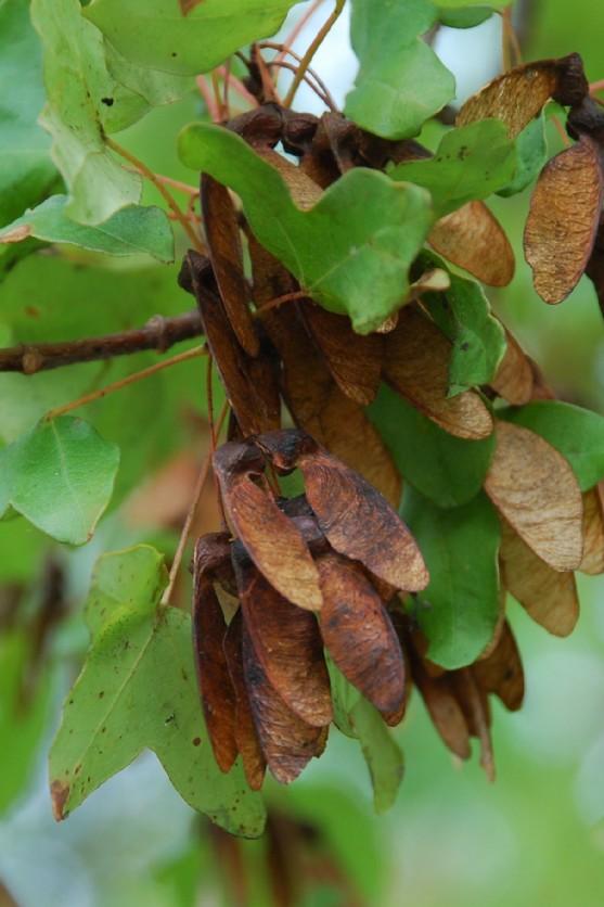 Acer monspessulanum subsp. monspessulanum 5