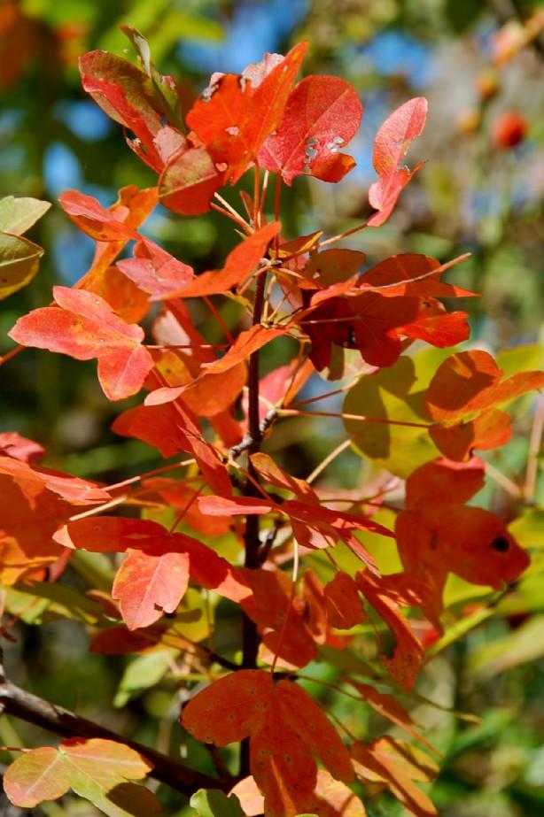 Acer monspessulanum subsp. monspessulanum 7