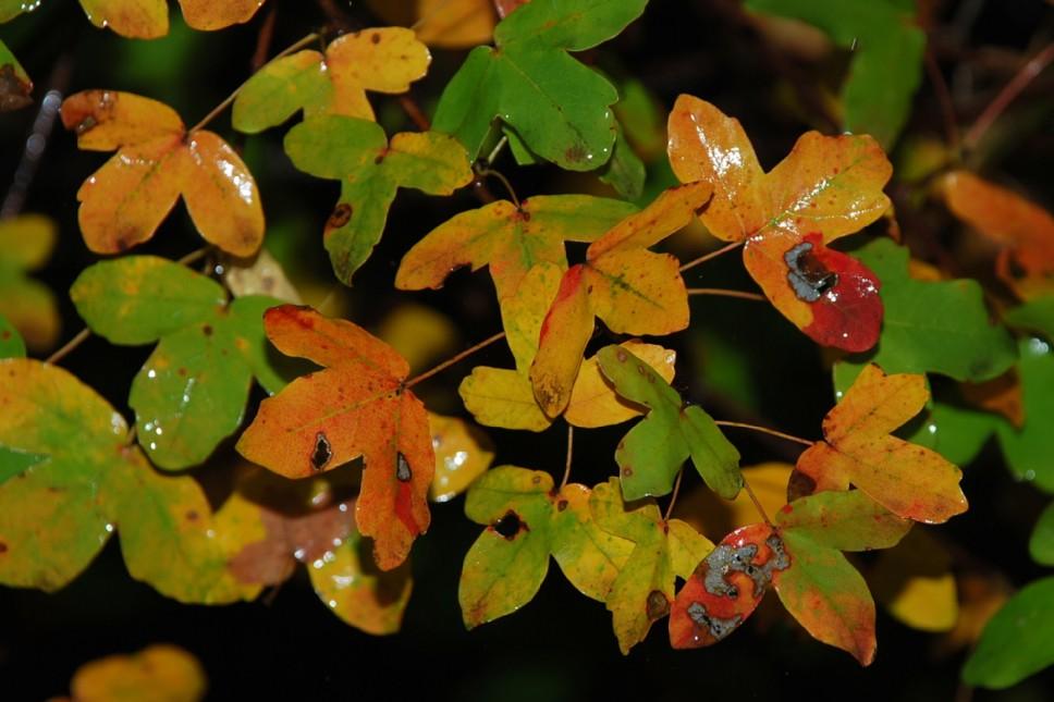 Acer monspessulanum subsp. monspessulanum 8