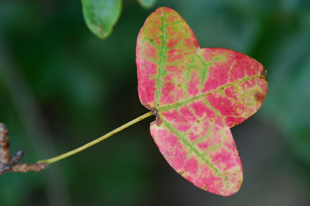 Acer monspessulanum subsp. monspessulanum 9