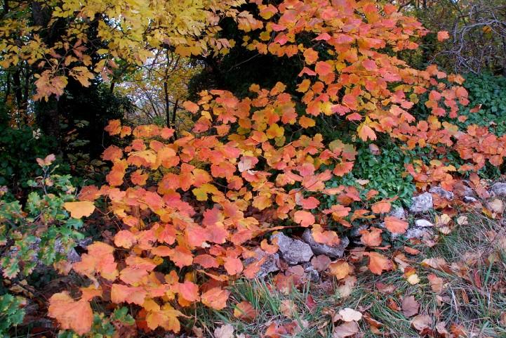 Acer opalus subsp. obtusatum 10