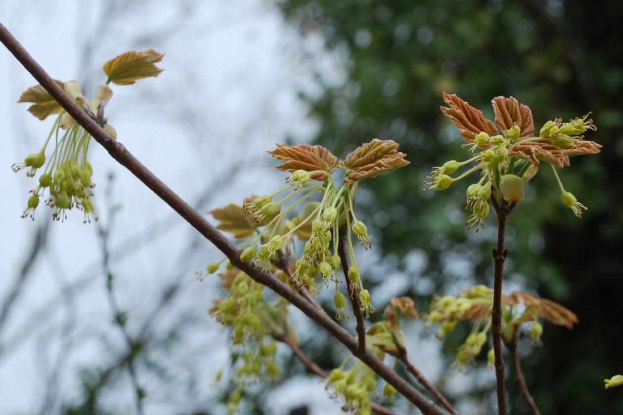Acer opalus subsp. obtusatum 11