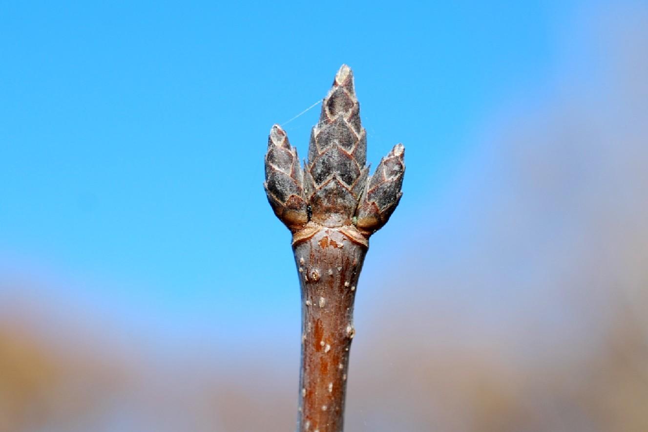 Acer opalus subsp. obtusatum 13