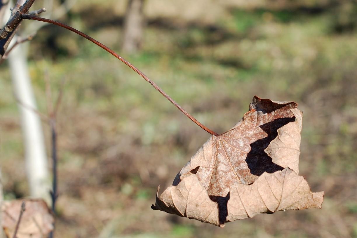 Acer opalus subsp. obtusatum 15