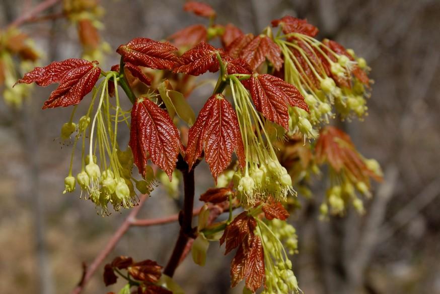 Acer opalus subsp. obtusatum 3