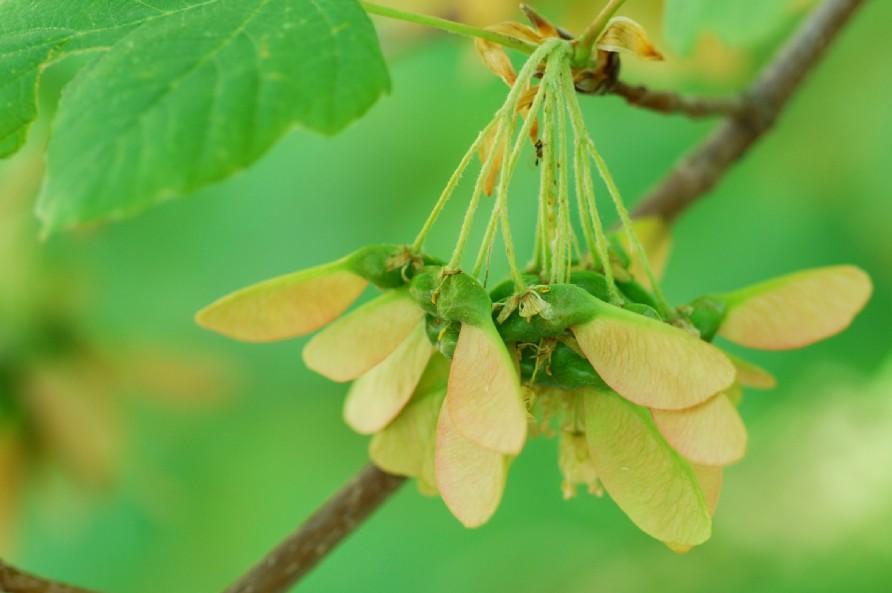 Acer opalus subsp. obtusatum 4