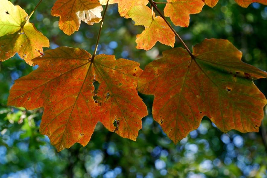 Acer opalus subsp. obtusatum 5