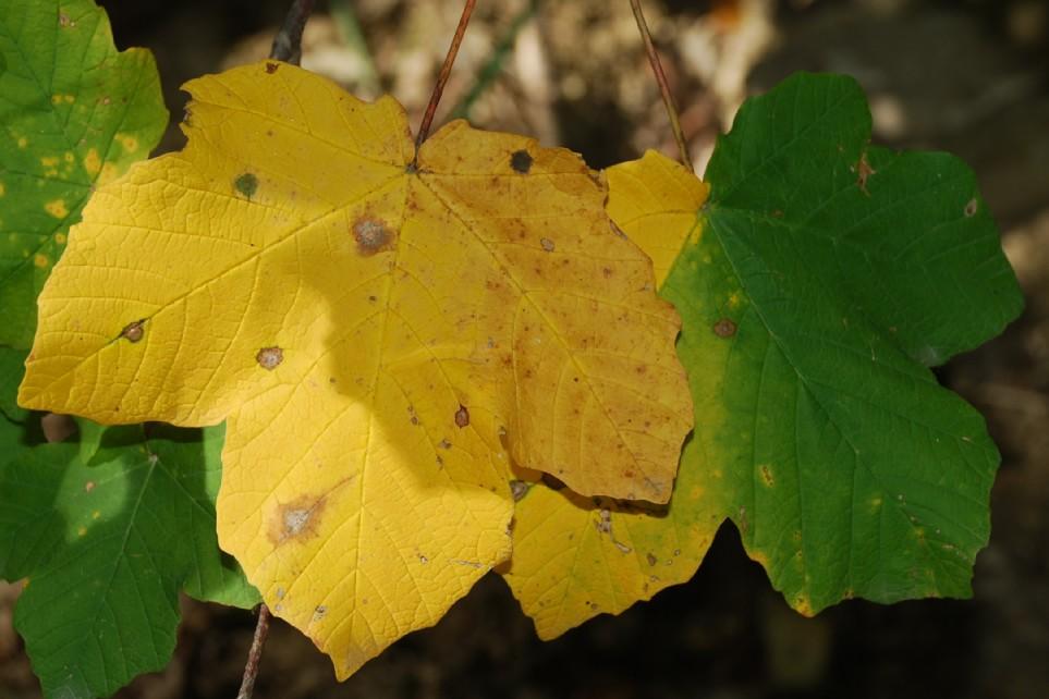 Acer opalus subsp. obtusatum 6