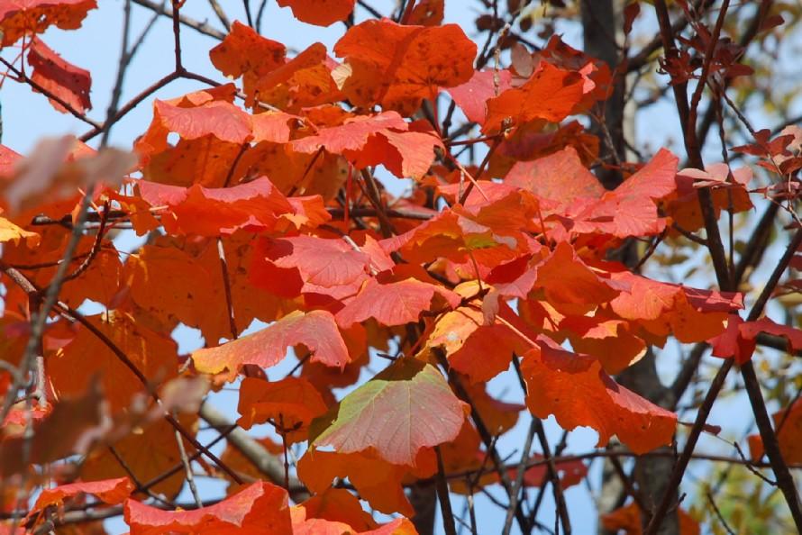 Acer opalus subsp. obtusatum 7