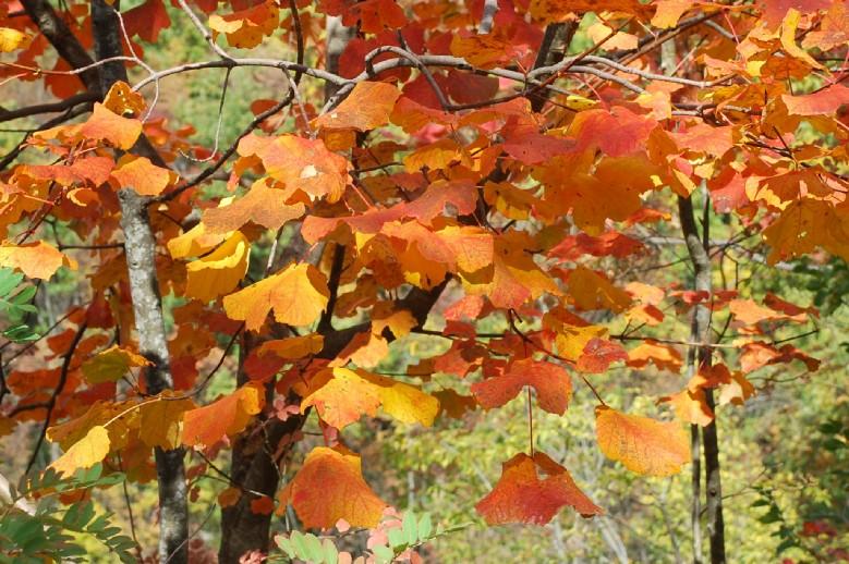 Acer opalus subsp. obtusatum 8