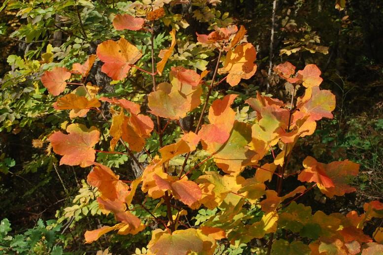 Acer opalus subsp. obtusatum 9