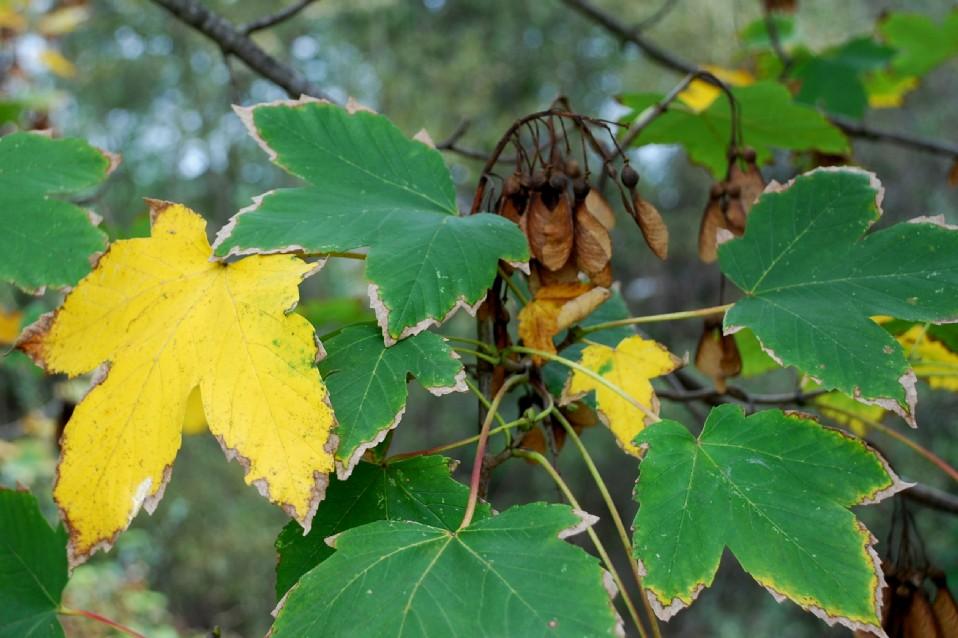 Acer pseudoplatanus 11