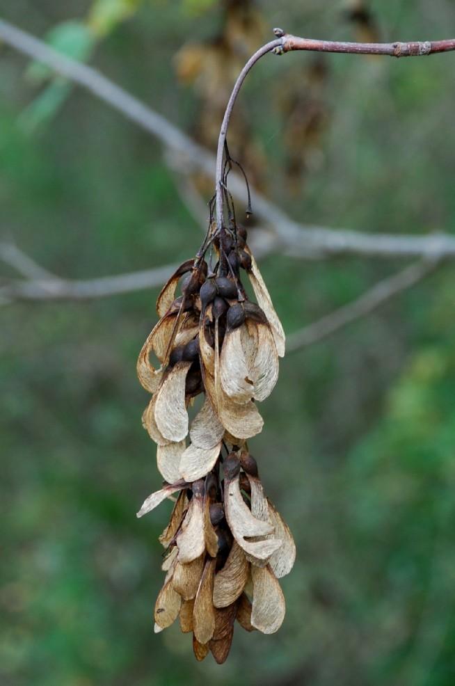 Acer pseudoplatanus 13