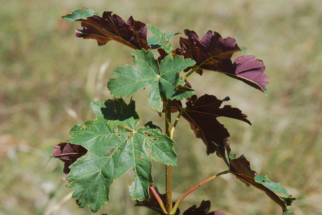 Acer pseudoplatanus 14