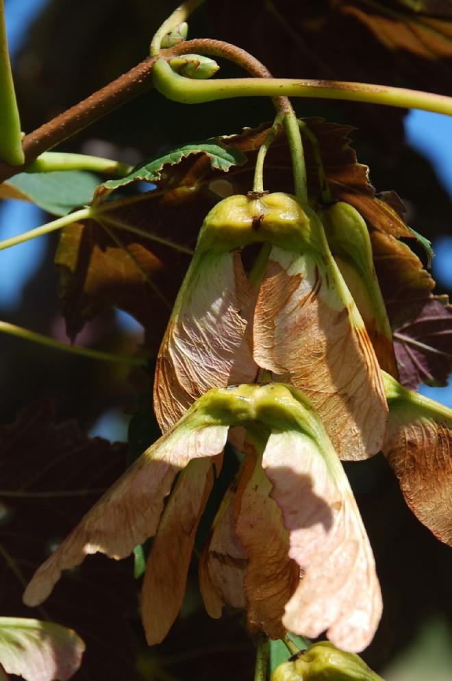Acer pseudoplatanus 15