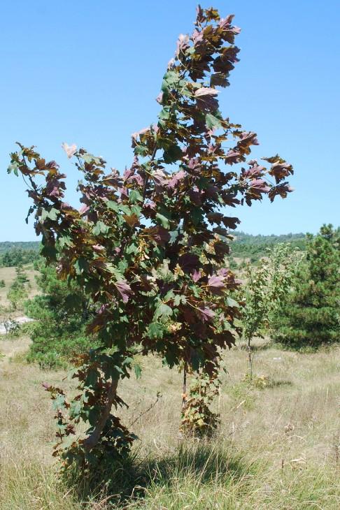 Acer pseudoplatanus 16