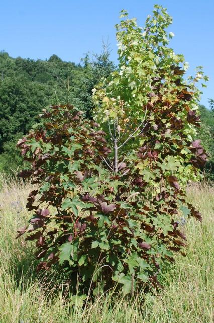 Acer pseudoplatanus 17