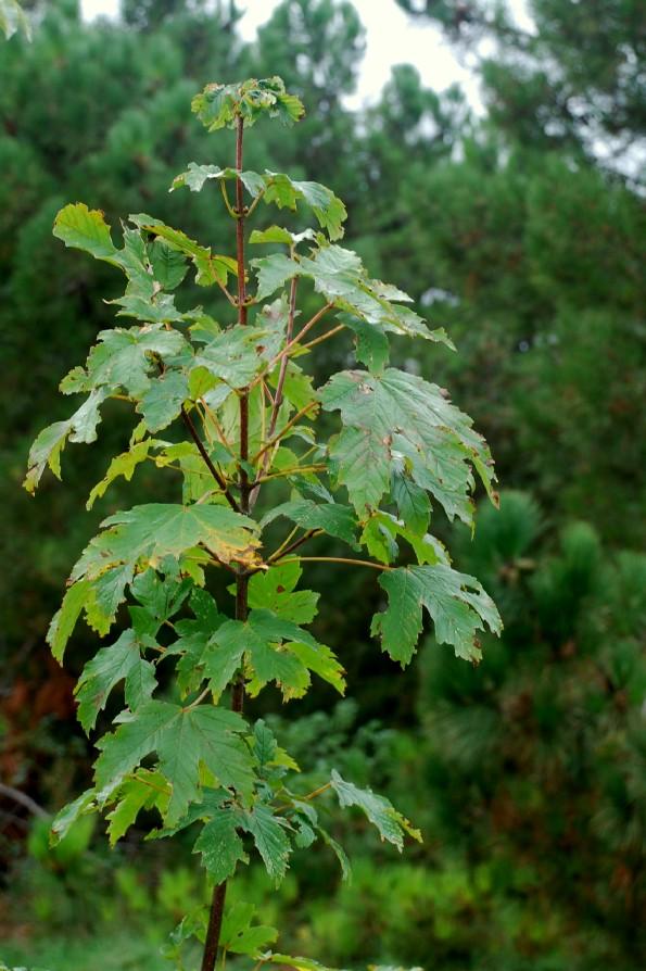 Acer pseudoplatanus 4