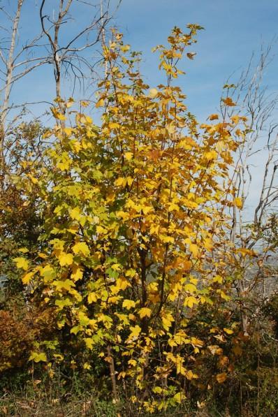 Acer pseudoplatanus 5