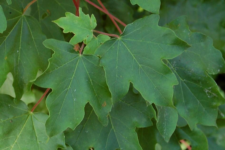 Acer pseudoplatanus 6