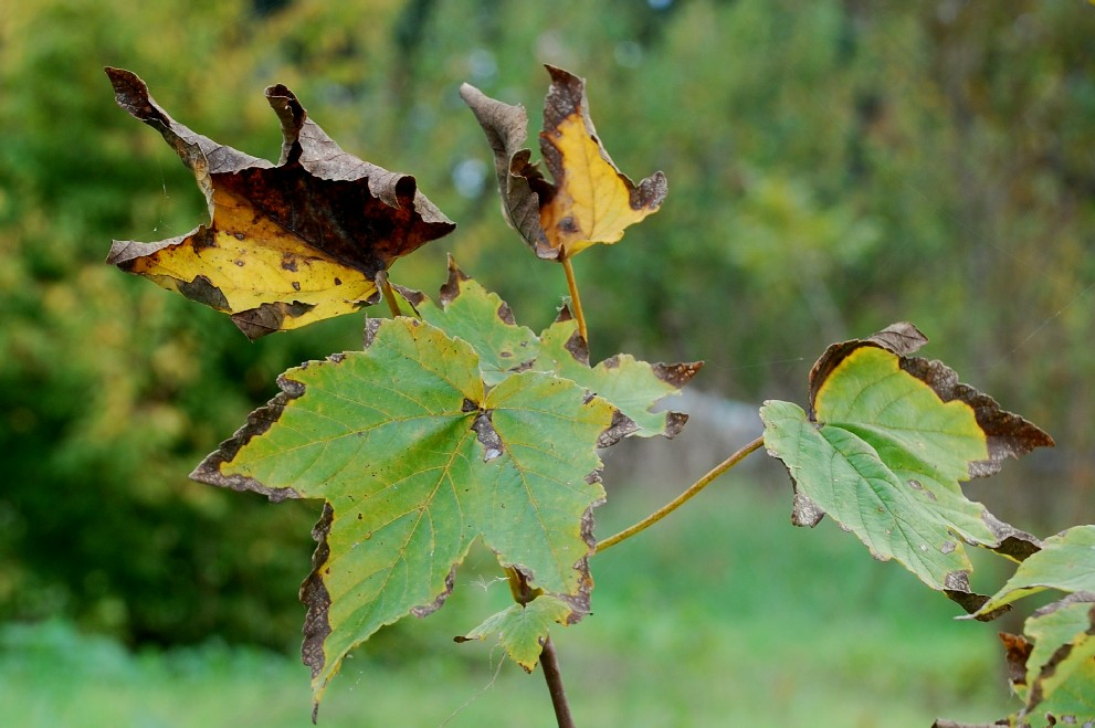 Acer pseudoplatanus 8