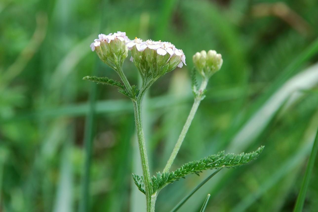 Achillea millefolium 10